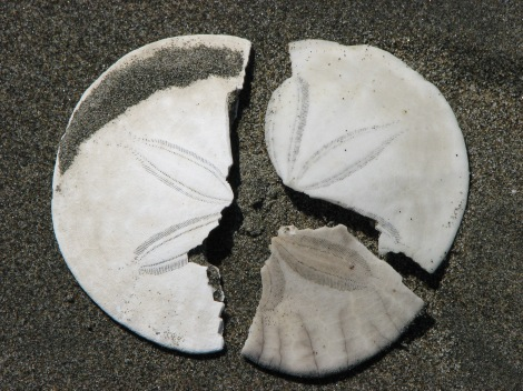 Broken_sanddollar_pieces